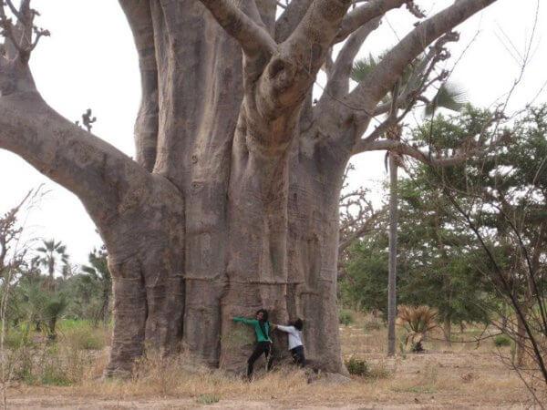 Baobab Tree in Louga, Senegal